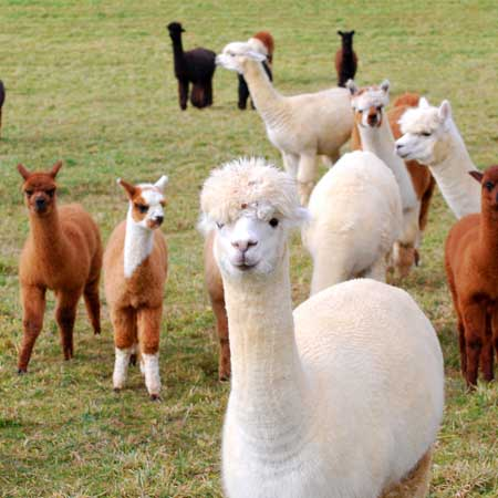 Chilla Valley Alpacas