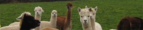 Chilla Valley Alpacas