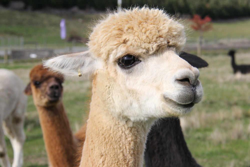 604a5ad5d Alpaca Shearing – Preparing Your Animals