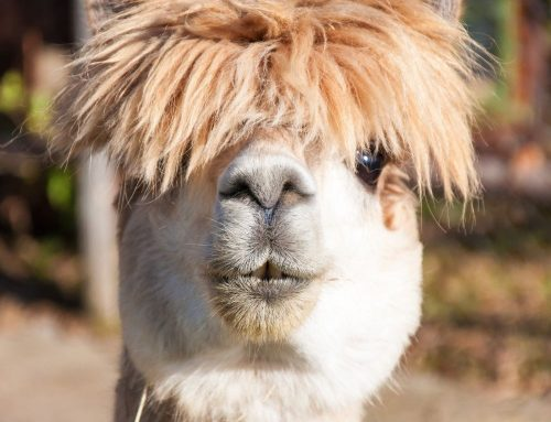 38 fascinating facts about alpacas